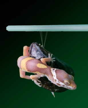 Image: Gecko clinging to mussel shell